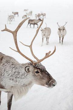 Rendier In De Sneeuw in Tromsø, Lapland van Henrike Schenk
