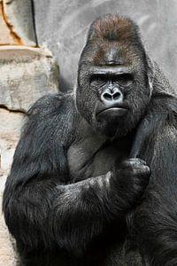 Portret van een krachtige dominante mannelijke gorilla (fysionomie), strak gezicht en krachtige arm.
