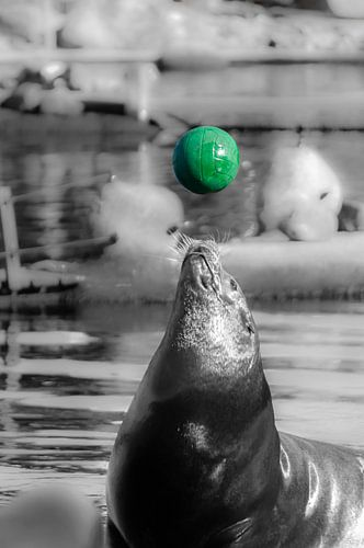 Zeehond met groene bal.