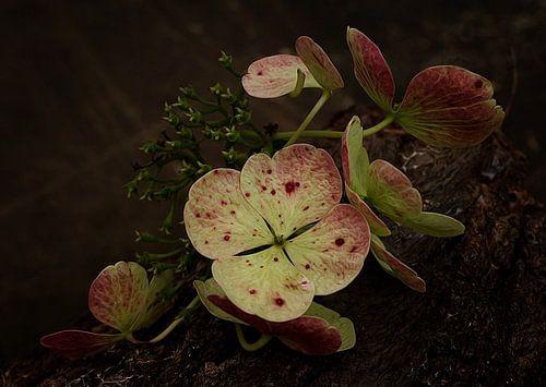 Verblühte Hortensie van
