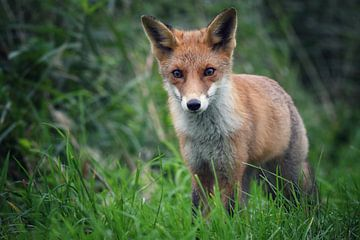 neugieriger Fuchs von Jitske Van der gaast
