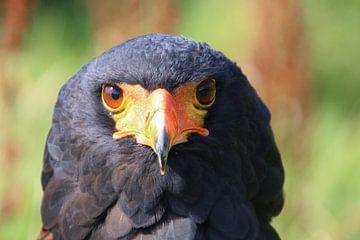 roofvogel van laura van klooster