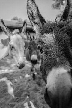 Neugierige Esel von Sasja van der Grinten