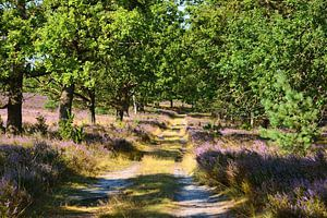Path trough Blossoming Heather