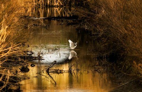 Witte reiger in het laatste licht. van Ellen Driesse