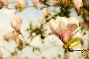 Lentebloesem Magnolia 1 van Joske Kempink