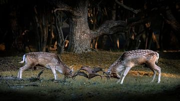 Zwei kämpfende Deppen in der Brunftzeit. von Albert Beukhof