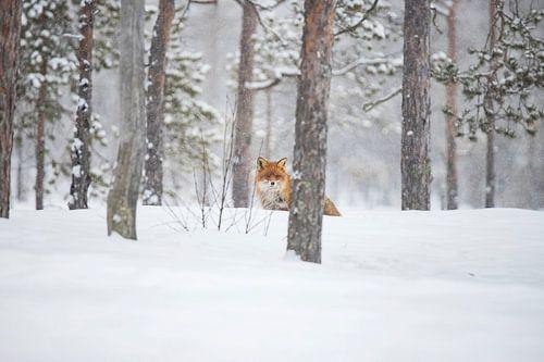 Vos in de sneeuw, Vulpes vulpes van Gert Hilbink