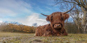 Highland Cow sur Menno Schaefer