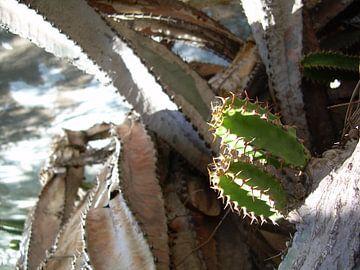 Cactus sur Adrie Berg
