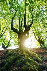 De boom van Franziska Jungen
