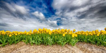 Gele Tulpen 2020 A van Alex Hiemstra
