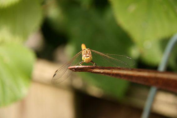 Libelle close-up 1