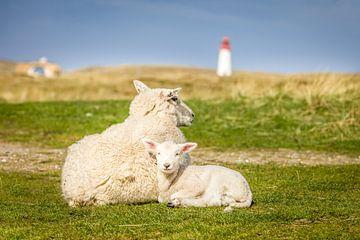 Schafe mit Leuchtturm auf Sylt von Christian Müringer