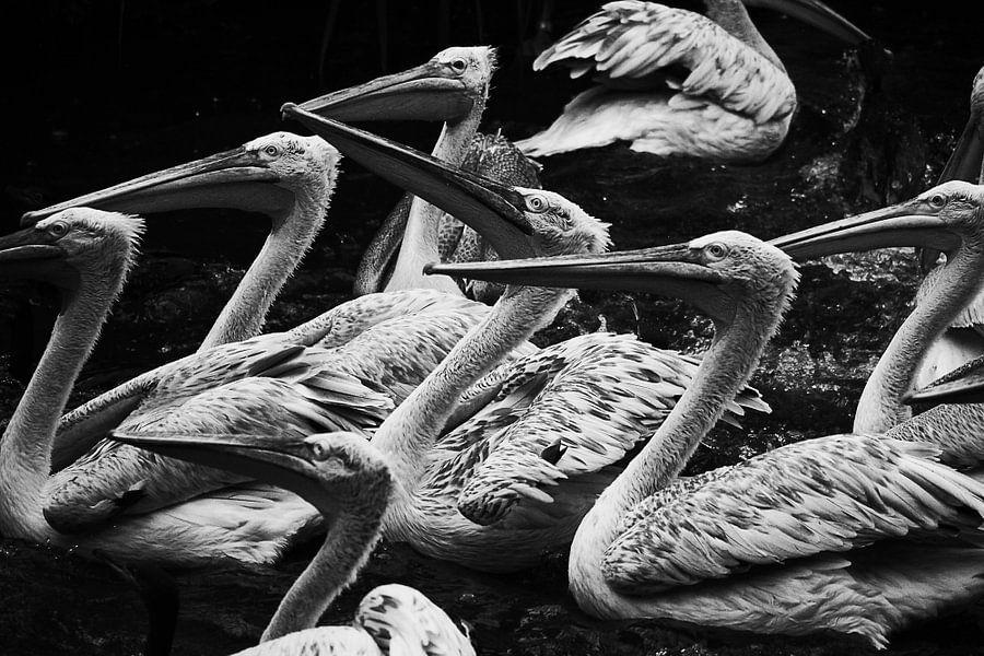 Pelikanen in het water