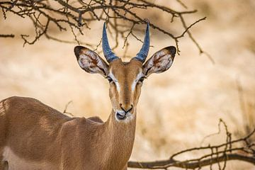 Springbok van Guus Quaedvlieg