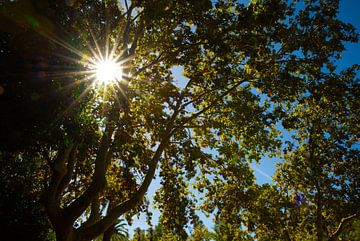 Zonnestralen door groene bladeren van een plataan (boom).. van Edith van Aken