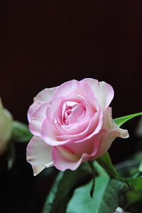 Roze roos - Pak me dan als je kan
