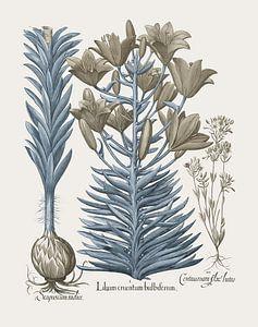 Basilius Besler-Orangene Lilie mit Bulbillen Spätblühende Schwarzlilie