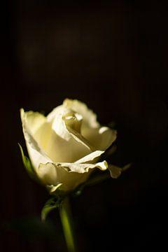 Witte roos van Frans Scherpenisse
