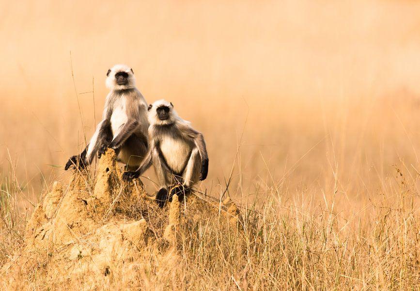 Langoer apen op een termietenheuvel