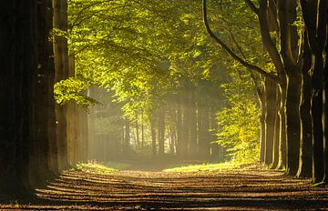 Wald in dem morgensonne von Arjan Keers