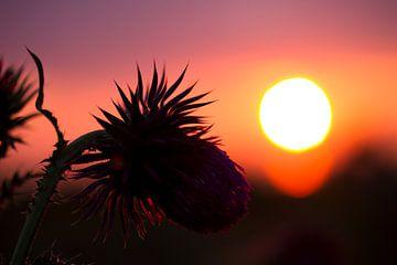 Eine Distel während des Sonnenuntergangs von Karijn Seldam