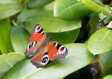 Schmetterling Pfau