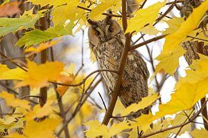 Ransuil (Long-eared owl) van