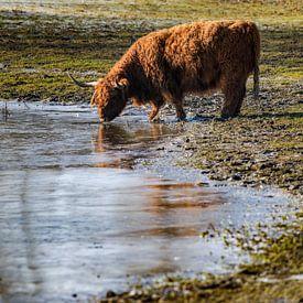 Scottish Highlander trinken Wasser aus dem zugefrorenen See von Fotografiecor .nl