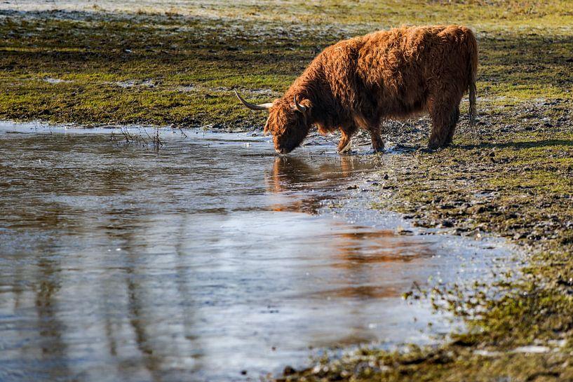 Schotse hooglander drink water uit bevroren meer van Fotografiecor .nl