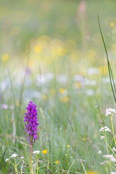 Knabenkraut in einer Blumenwiese von Coen Weesjes