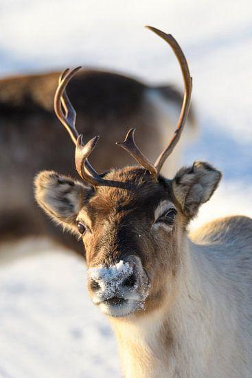 Rendier in de sneeuw tijdens de winter in Noord Noorwegen