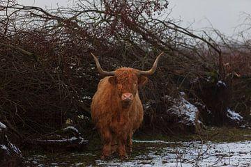 Highlander écossais sur Miranda Geerts