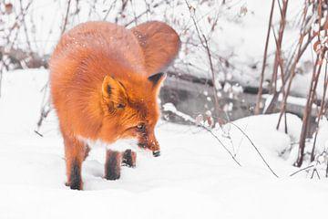 Pepervos in het bos. Snuffelend. Mooie rode pluizige vos in de sneeuw tijdens een sneeuwval. Sneeuwv van Michael Semenov