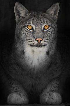 Luchs Katze in der Dunkelheit mit orange leuchtenden Augen, verfärbte Foto auf schwarzem Hintergrund von Michael Semenov