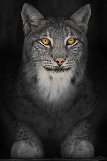 Lynx kat in het donker met oranje gloeiende ogen, verkleurde foto op zwarte achtergrond