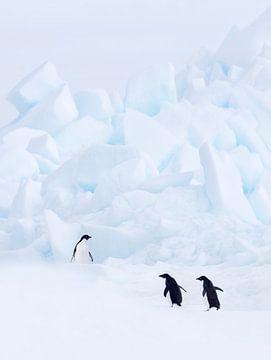 Drei Adelie-Pinguine (Pygoscelis adeliae) in Eislandschaft auf der Insel Paulet, Antarktis von Nature in Stock