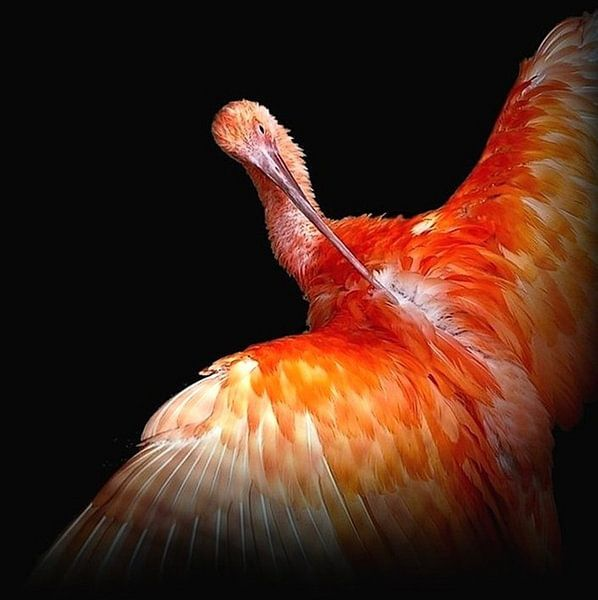 Ibis ... Vogel