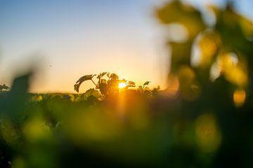 Sonnenuntergang im Weinberg von Pichon Baron von Reismaatjes XXL
