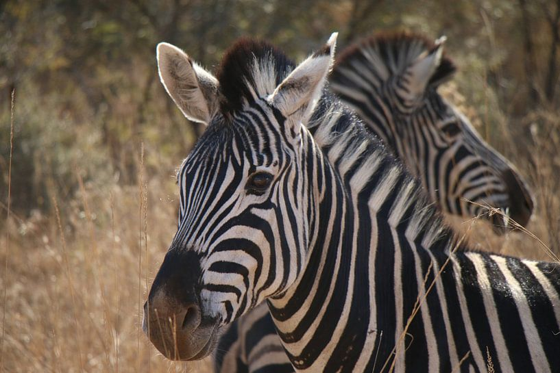 Zebra's Pilanesberg National Parc Zuid Afrika van Ralph van Leuveren