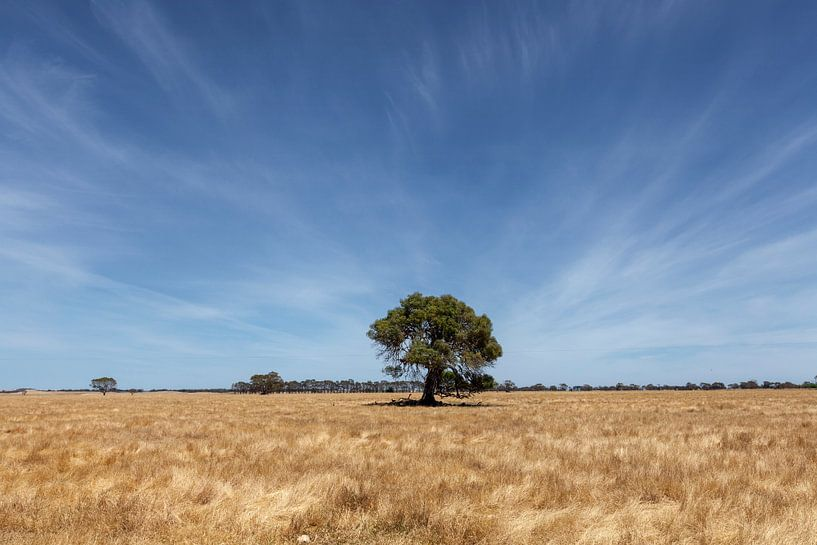 Alleen staande boom op  tarweveld  op een zonnige dag met een blauwe hemel in de staat Victoria, Aus van Tjeerd Kruse