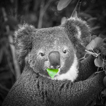 Koala eet blaadje van Frans Lemmens