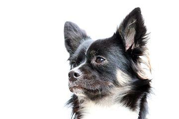 Langhaar-Chihuahua von Clicksby JB