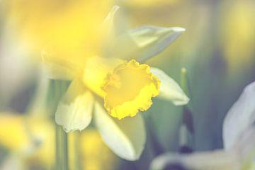 Narcissus (daffodil) hidden sur Alessia Peviani