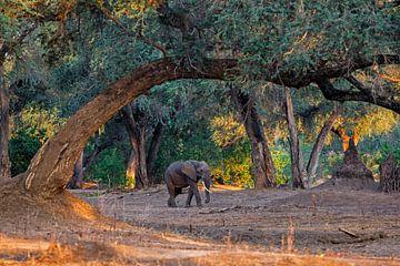 Afrikaanse olifant (Loxodonta africana) lopend over uitgedroogde rivierbedding in het vroege ochtend van