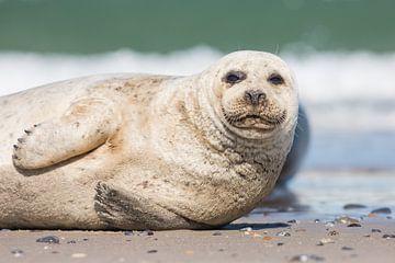 Luie zeehond van Kris Hermans