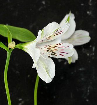 white alstroemeria flowers  van Compuinfoto .