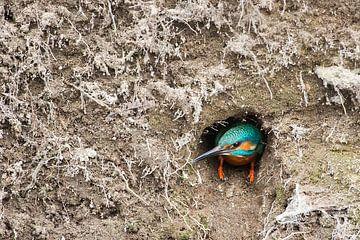 Eisvogel kommt aus einem Nistloch. von Jeroen Stel
