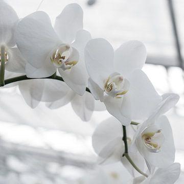 Tak met witte orchideeën op een lichte achtergrond. von Idema Media